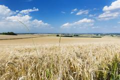 A golden rye field with blue sky and wide Eifel landscape in Germany, some gr Stock Photos