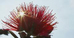 Ohia Lehua Tree Close Up, Big Island, Hawaii, Glimmering Sun Rays, Red Scarlet Stock Footage