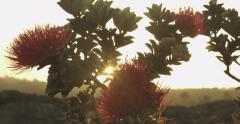 Ohia Lehua Tree Close Up, Big Island, Hawaii, Glimmering Sun Rays Stock Footage