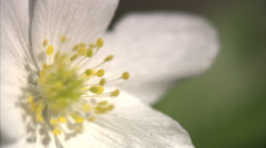 Stock Video Footage of A wood anemone, close-up.