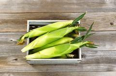 Vintage wooden crate filled with fresh sweet corn in stalks on wooden planks Stock Photos