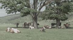 Animals on Meadow in Romania -Cine Gamma- Stock Footage