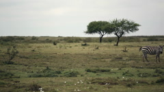 Zebra grazing green savannah, Samburu, Kenya, Africa safari, pan right Stock Footage