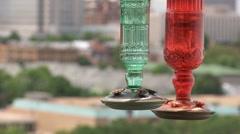 Black-Chinned Hummingbird Archilochus alexandri Stock Footage