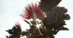 Ohia Lehua Tree Close Up, Big Island, Hawaii, Glimmering Sun Rays. Red Scarlet Stock Footage