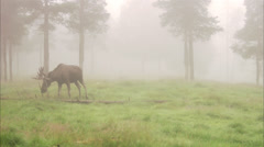 A moose in the fog, Sweden. Stock Footage