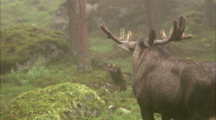 A moose, Sweden. Stock Footage
