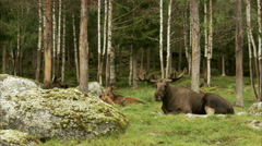 A moose laying down, Sweden. Stock Footage
