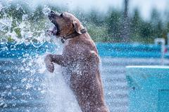American pit bull playing Stock Photos