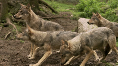 Wolves at a zoo, Sweden. Stock Footage
