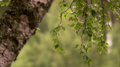 A birch, Sweden. Stock Footage