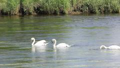 Swans feeding  river forth Stirling Stock Footage