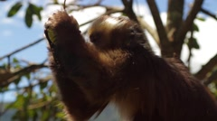 Monkey eating fruit on tree branch Stock Footage