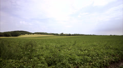 A potato-field, Sweden. - stock footage