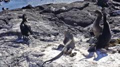 Flightless Cormorants Stock Footage