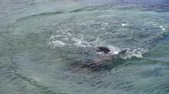 Playful Galapagos Sea Lions - stock footage