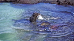 Three Galapagos Sea Lions in Shallow Water - stock footage