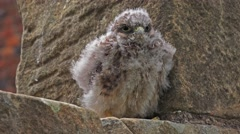 Wildlife young bird of prey - Kestrel chick Stock Footage
