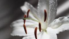 White lily. Slow Motion. Stock Footage