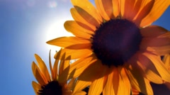 Sunflower against blue sky and sun shines through the flowers Stock Footage