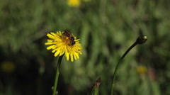 Bee gathering on dandelion flower - stock footage
