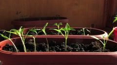 (Timelapse) Seedlings of pepper turns to light Stock Footage