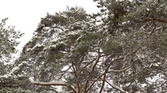 The tops of the pine trees covered with snow fluttering in the wind Stock Footage