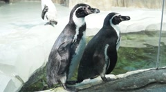 Humboldt Penguins at the pond in the enclosure - stock footage