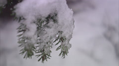 The branch of a spruce, close-up. Stock Footage