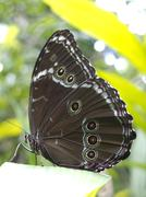 Owl butterfly, Caligo sp., in Amazon rainforest. - stock photo