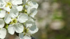 Flowers pear tree close-up with copyspace on the right - stock footage