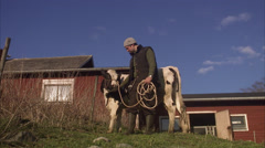 A farmer and a cow, Sweden. - stock footage