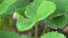Strawberry bush with drops of rain close up Stock Footage
