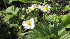 Flowers on the bush of strawberries Stock Footage