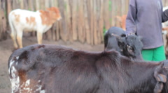 African poor village boy with cows livestock, Samburu, Kenya Stock Footage