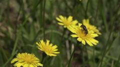 Bee gathering on dandelion flower Stock Footage
