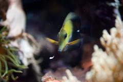 Yellow spotted aquarium fish - stock photo