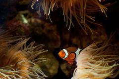 Fish in sea anemones aquarium Stock Photos