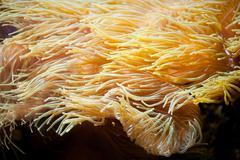 Yellow sea anemones macro Stock Photos