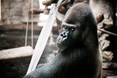 Single gorilla sitting alone Kuvituskuvat