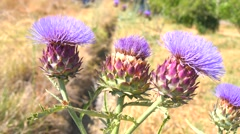 Artichoke in bloom, Artichoke Flower (4k) - stock footage