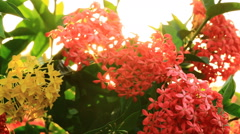 Blooming Red Ixora flowers Nature Footage with flare , Dolly camera Stock Footage