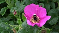 Bumblebee gathers nectar on pink dog rose Stock Footage