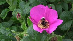 Bumblebee gathers nectar on pink dog rose (Rosa rugosa) Stock Footage
