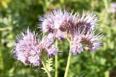 Flowers of Phacelia. Stock Photos