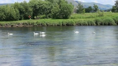 Swans swimming along as a group. Stirling The forth Stock Footage