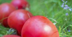Attack of the tomatoes - fresh tomatoes in grass roll toward camera Stock Footage
