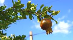 Pomegranate tree (4K) Stock Footage