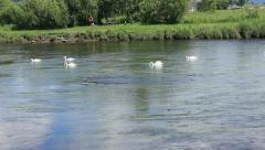 Six swans moving up river forth Stirling Stock Footage