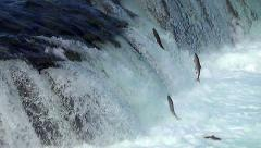 Zoom In on Over 60 Salmon Jumping Near the Falls During Salmon Run Stock Footage